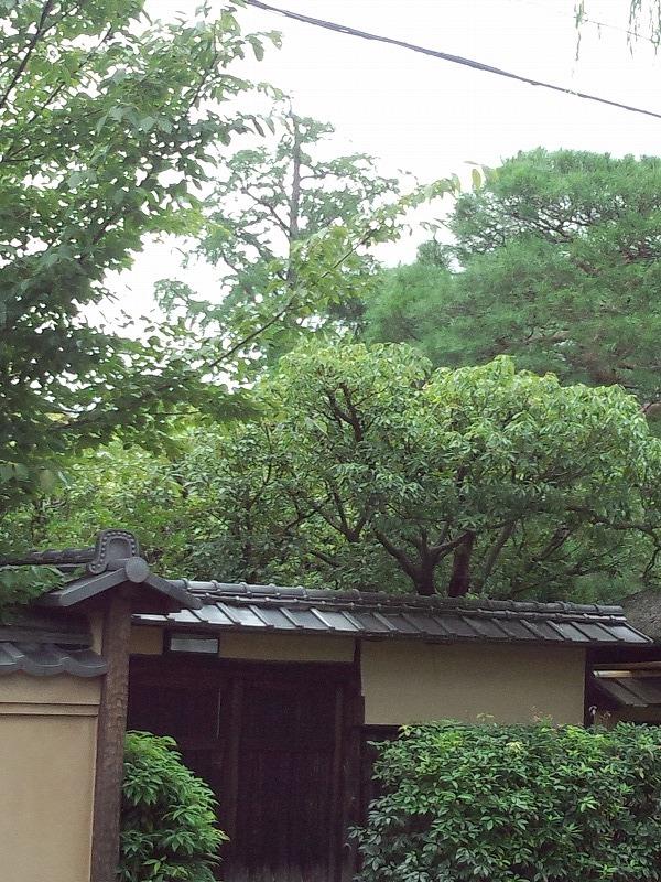 境の銀杏の木