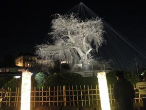 2013 京都 花灯路 円山公園枝垂れ桜