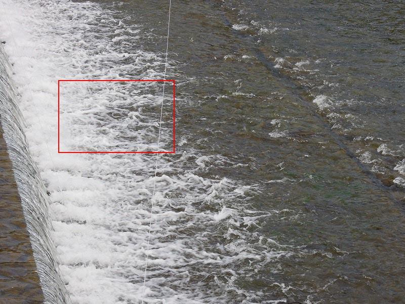 鴨川 鯉の滝登り