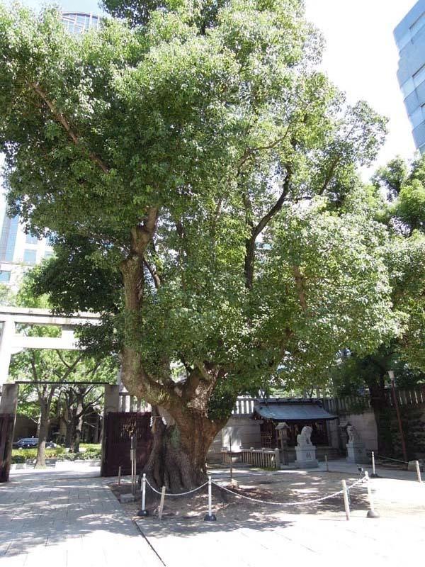 難波神社 楠木