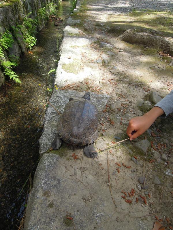 京都御所 亀の散歩