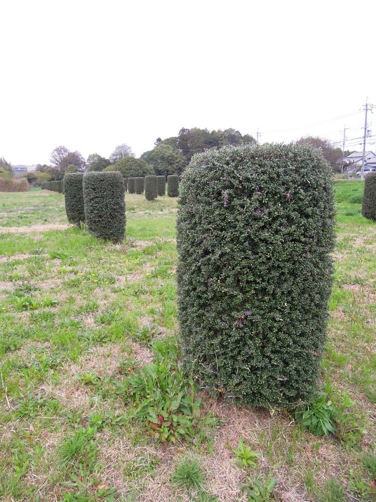 奈良 平城京跡 ツゲの木